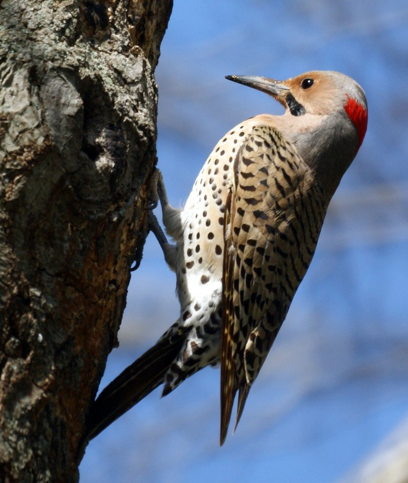 Woodpeckers Also Love Stucco and EIFS Siding